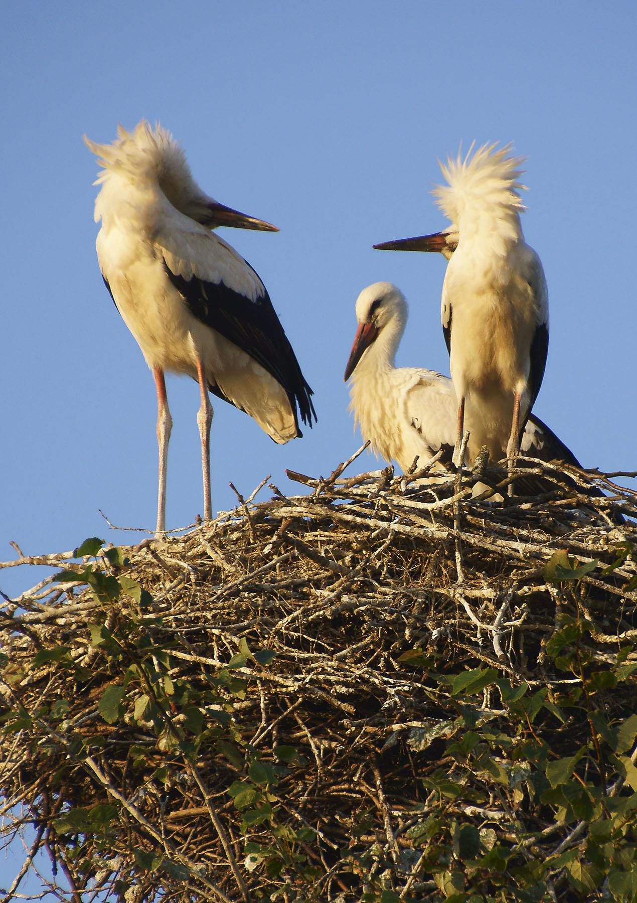 Budry to wieś bocianów – naliczono tu ponad 30 gniazd