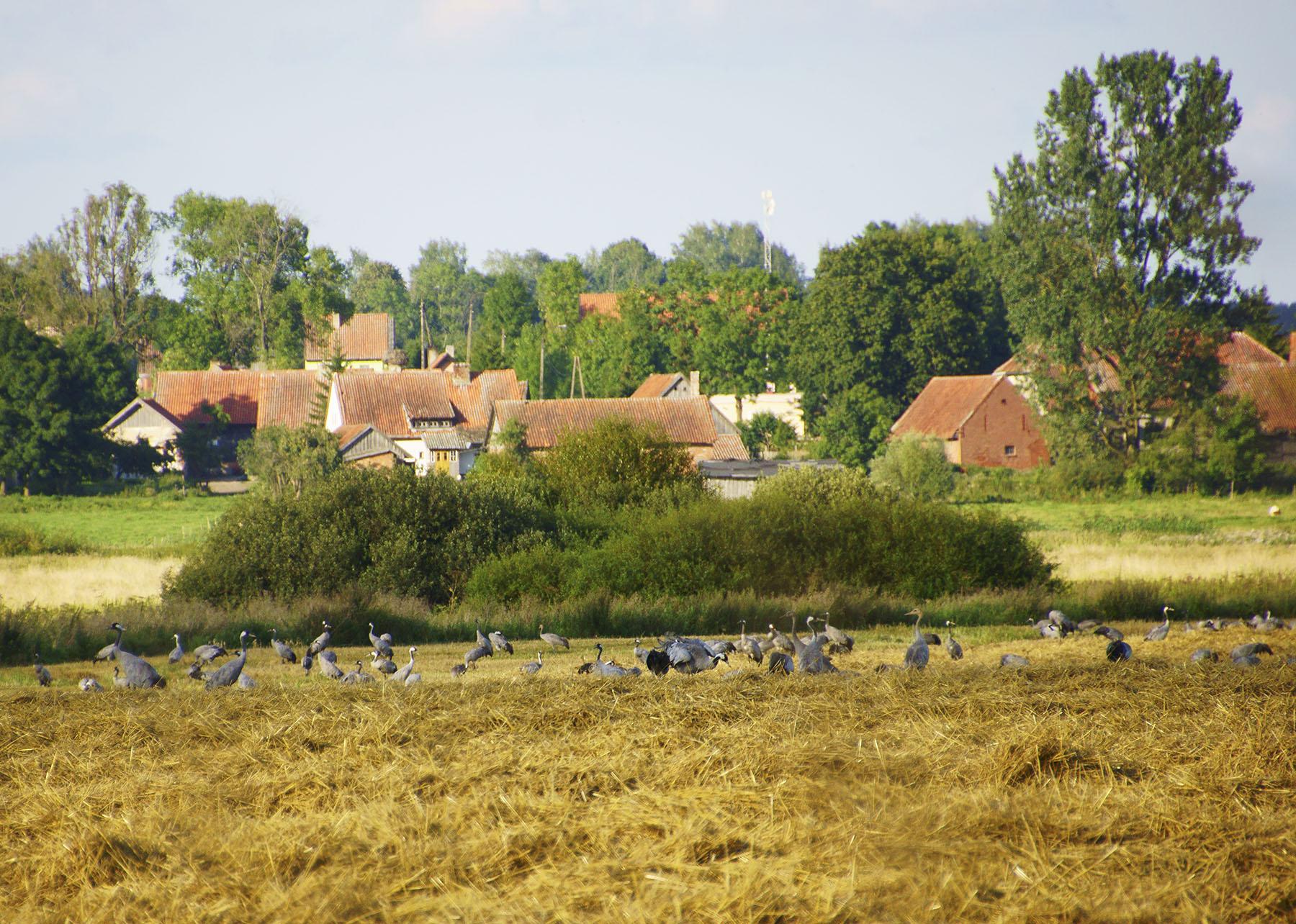Żurawie na łąkach nad Węgorapą w Zabroście Wielkim
